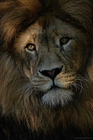 foto ritratto al leone
